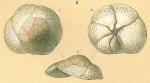 Rosalina sp.nov2.