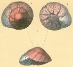 Trochulina rosea