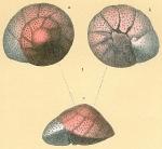 Trochulina rosea