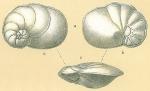 Cancris auriculus