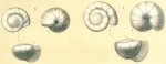 Gyroidinoides soldanii