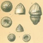 Glabratella tabernacularis