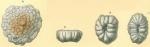 Cymbaloporella tabellaeformis