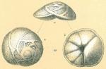 Eponides repandus