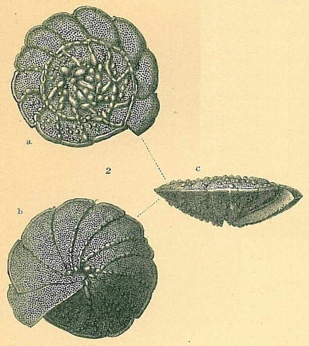 Neoeponides margaritifer