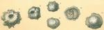 Siphoninoides echinatus
