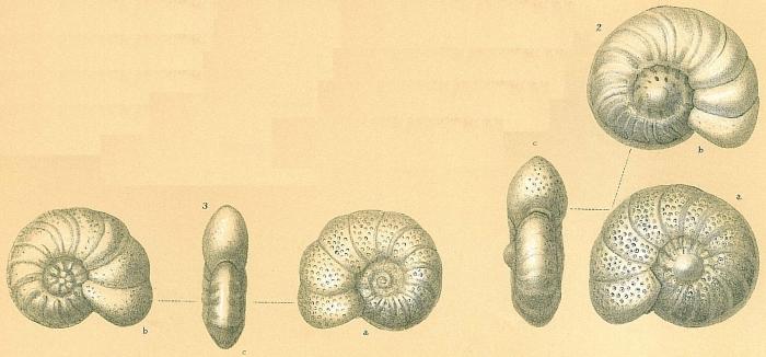 Anomalinoides colligerus