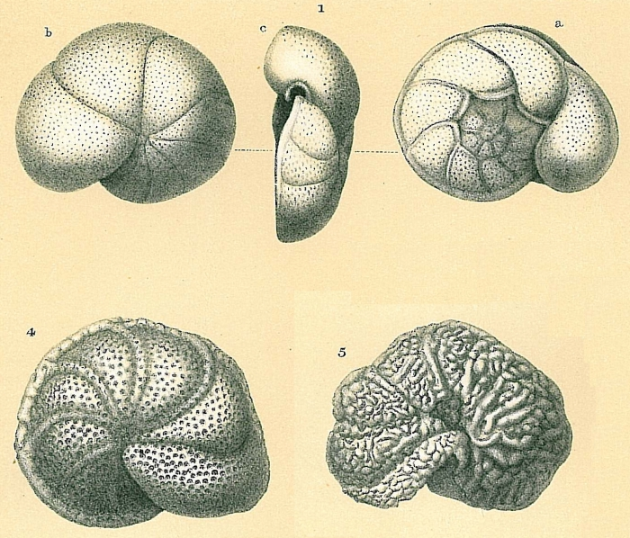 Cibicides lobatulus