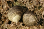 Littorina littorea (Linnaeus, 1758)