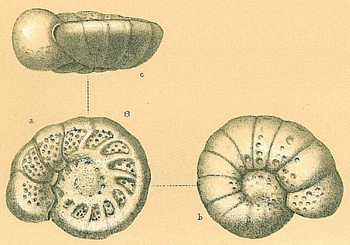 Cibicidoides circatricosus