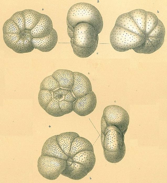 Cibicidoides globulosus