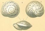 Cibicidoides mundulus