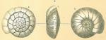 Cibicidoides robertsonianus