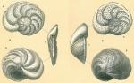 Cibicidoides wuellerstorfi