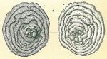 Cyclocibicides vermiculatus