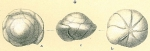 Gyroidina broeckhiana