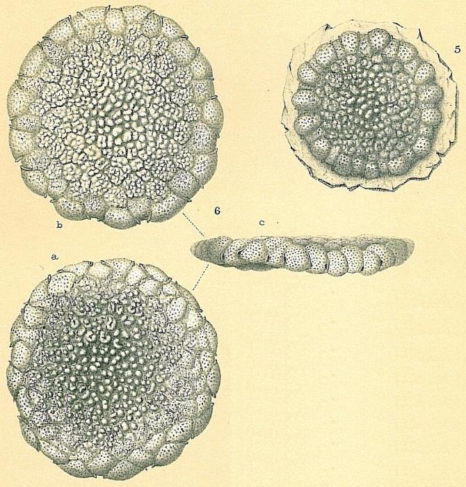 Planorbulinella larvata