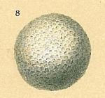Sphaerogypsina globulus