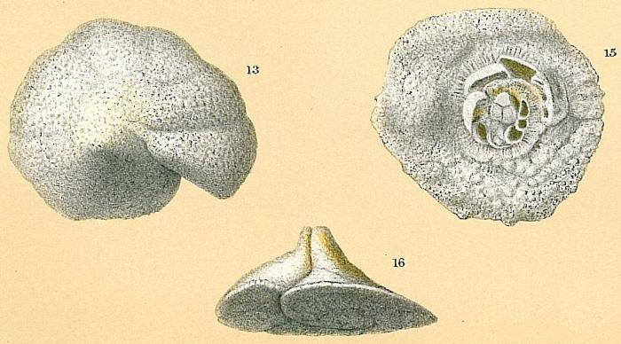 Carpenteria monticularis