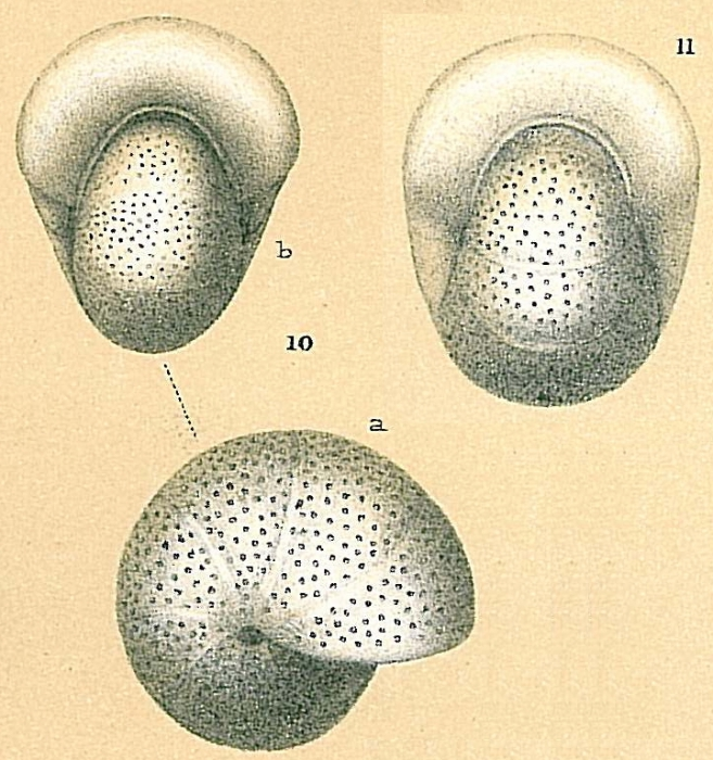 Melonis pompilioides