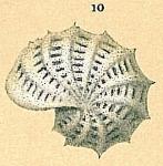 Elphidium aculeatum