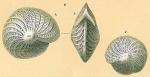 Elphidium crispum