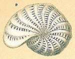Elphidium lessonii