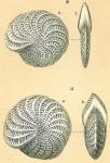Elphidium macellum