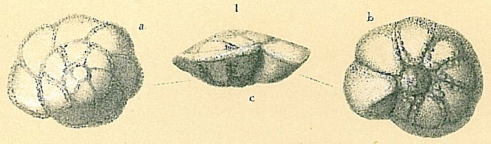 Pararotalia sp.
