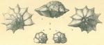 Pararotalia stellata