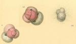 Globigerinoides ruber