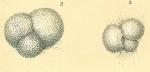 Globigerinoides sacculifer