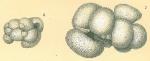 Globigerinoides sp. aberrant