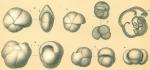 Pulleniatina obliquiloculata