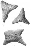 Astrorhiza angulosa