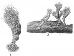 Halyphysema tumanowiczii
