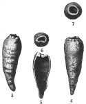 Hippocrepina indivisa