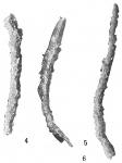 Marsipella cylindrica