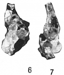 Proteonina micacea
