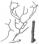 Psammatodendron arborescens