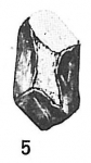 Psammosphaera bowmanni