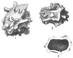 Storthosphaera albida