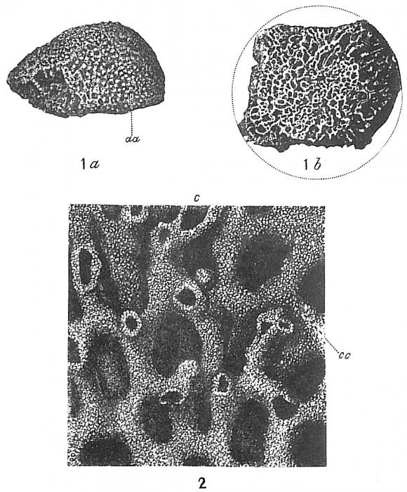 Syringammina fragilissima