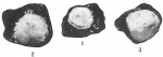 Webbinella hemisphaerica