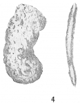 Ammobaculites pseudospirale