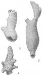 Aschemonella catenata