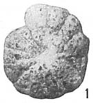 Cyclammina compressa