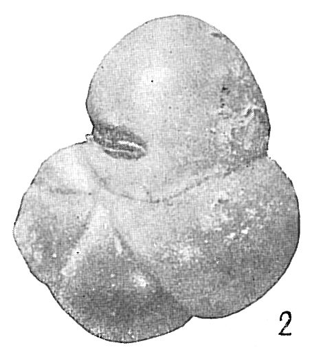 Haplophragmoides ringens