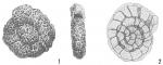 Haplophragmoides runianum, author: Cedhagen, Tomas