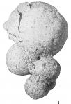 Hormosina normani